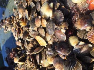 tisbury shellfish
