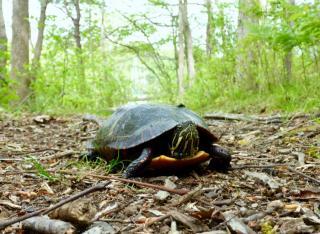 A turtle in a path at Tashmoo